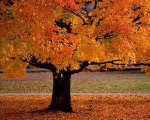 Autumn-Tree-Dekstop-Backgrond